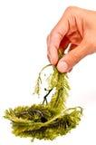 Frische Meerespflanze lizenzfreie stockfotos