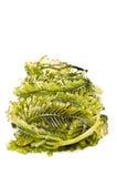 Frische Meerespflanze stockbilder