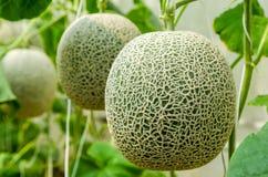 Frische Melone vom Bauernhof Stockbilder