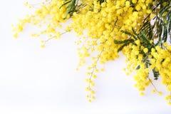 Frische Mimosenblume auf Weiß Stockbilder