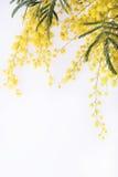Frische Mimosenblume auf Weiß Stockfoto