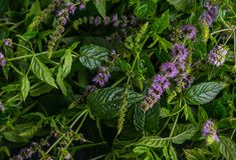 Frische Minze mit Blumen auf einem dunklen Hintergrund lizenzfreie stockfotografie