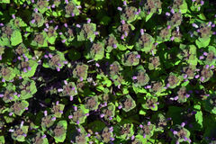 Frische Minze mit purpurroten Blumen stockbilder