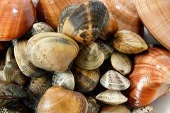 Frische Muscheln unterschieden Stockfoto