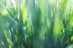Frische Nahaufnahme des grünen Grases Weicher Fokus Feld des grünen Grases gegen einen blauen Himmel mit wispy weißen Wolken Lizenzfreie Stockfotos