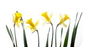 Frische Narzissenblumen lokalisiert auf Weiß lizenzfreie stockfotografie