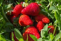 Frische natürliche Erdbeere Lizenzfreie Stockfotos