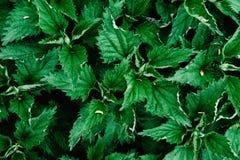 Frische Nessel des grünen Hintergrundes Stechendes Design Beschaffenheit stingi Lizenzfreies Stockbild