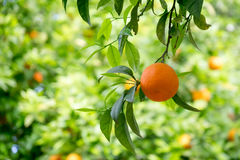 Frische Orange Stockbilder