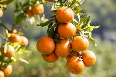 Frische Orange auf Anlage, Orangenbaum. lizenzfreie stockbilder