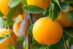 Frische Orange auf Orangenbaum stockbild