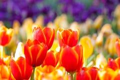 Frische orange Tulpen lizenzfreies stockfoto