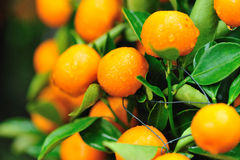 Frische Orangen auf Baum Stockfotos