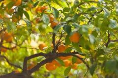 Frische Orangen auf dem Baum Stockfotos