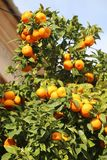 Frische Orangen, die auf Orangenbaum in Mallorca wachsen Lizenzfreies Stockbild