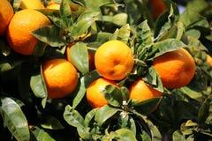 Frische Orangen, die auf Orangenbaum in Mallorca wachsen Lizenzfreie Stockfotos