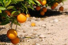 Frische Orangen, die am Orangenbaum hängen Stockfoto