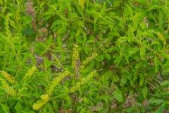 Frische organische basilic Blätter Stockfotos