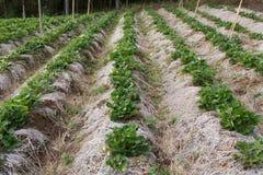 Frische organische Erdbeeranlage Stockfotos