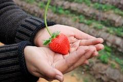 Frische organische Erdbeeren stockbild