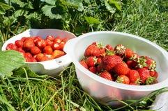 Frische organische Erdbeeren der Ernte im Sommer stockfotografie