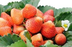 Organische Erdbeeren im Korb Lizenzfreies Stockbild