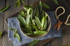 Frische organische Green Bay-Blätter Lizenzfreies Stockfoto