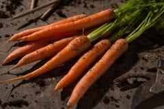 Frische organische Karotten Lizenzfreies Stockbild