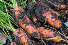 Frische organische Karotten berichtigen aus dem Boden heraus Organische Gartenarbeit an seinem feinsten Lizenzfreies Stockfoto
