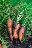 Frische organische Karotten berichtigen aus dem Boden heraus Organische Gartenarbeit an seinem feinsten Lizenzfreie Stockfotos