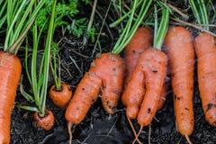 Frische organische Karotten berichtigen aus dem Boden heraus Organische Gartenarbeit an seinem feinsten Stockbild