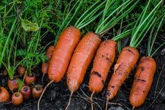Frische organische Karotten berichtigen aus dem Boden heraus Organische Gartenarbeit an seinem feinsten Lizenzfreie Stockfotografie