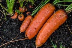 Frische organische Karotten berichtigen aus dem Boden heraus Organische Gartenarbeit an seinem feinsten Stockbilder