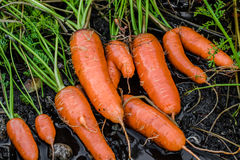 Frische organische Karotten berichtigen aus dem Boden heraus Organische Gartenarbeit an seinem feinsten Stockfotos