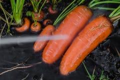 Frische organische Karotten berichtigen aus dem Boden heraus Waschen weg vom Schmutz Organische Gartenarbeit an seinem feinsten Stockfotos