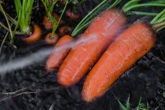 Frische organische Karotten berichtigen aus dem Boden heraus Waschen weg vom Schmutz Organische Gartenarbeit an seinem feinsten Stockbild
