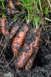 Frische organische Karotten berichtigen aus dem Boden heraus Waschen weg vom Schmutz Organische Gartenarbeit an seinem feinsten Stockfotografie