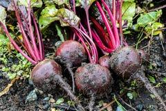 Frische organische Rote-Bete-Wurzeln berichtigen aus dem Boden heraus Organische Gartenarbeit an seinem feinsten Stockfotografie