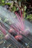 Frische organische Rote-Bete-Wurzeln berichtigen aus dem Boden heraus Waschen des Schmutzes weg von der roten Rübe Organische Gar Stockbilder