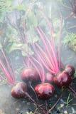 Frische organische Rote-Bete-Wurzeln berichtigen aus dem Boden heraus Waschen des Schmutzes weg von der roten Rübe Organische Gar Stockfotos