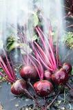 Frische organische Rote-Bete-Wurzeln berichtigen aus dem Boden heraus Waschen des Schmutzes weg von der roten Rübe Organische Gar Lizenzfreies Stockbild