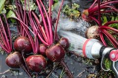 Frische organische Rote-Bete-Wurzeln berichtigen aus dem Boden heraus Waschen des Schmutzes weg von der roten Rübe Organische Gar Lizenzfreie Stockbilder