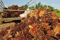 Frische Palmölfrucht Stockfotografie