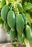 Frische Papaya lizenzfreies stockbild