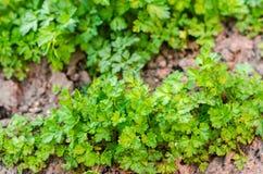 Frische Petersilie im Garten, wachsend in den Reihen Nahaufnahme Feld, Bauernhof, wachsende Kräuter stockfotos