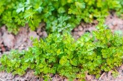 Frische Petersilie im Garten, wachsend in den Reihen Nahaufnahme Feld, Bauernhof, wachsende Kräuter stockfoto