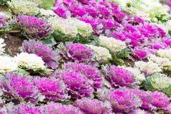 Frische Pflanzenblätter des purpurroten und Weißkohls (Brassica Oleracea) stockfoto