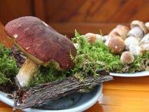 Frische Porcini-Pilze sammelten gerade im Wald Lizenzfreie Stockfotografie