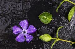 Frische purpurrote Blumen- und Grünblätter mit Wassertropfen stockfoto