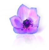 Frische purpurrote Frühlingsblume Lizenzfreie Stockfotografie